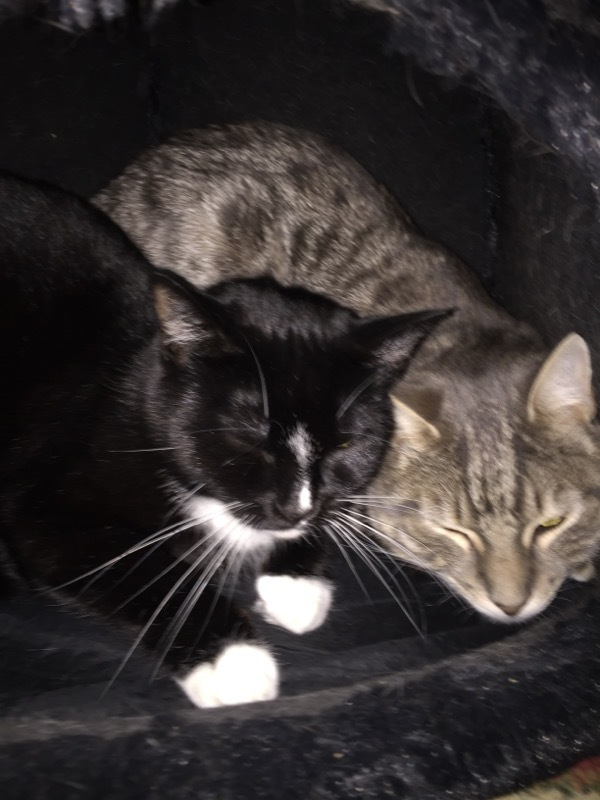 Remy & Khaleesi, an adoptable Domestic Short Hair in Warwick, RI
