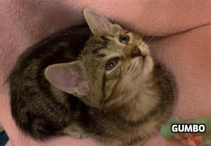 Gumbo is an active and affectionate boy who loves to zoom around and play with his two sisters Ging