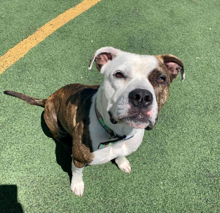 Duncan, an adoptable Pit Bull Terrier Mix in Eagle, ID