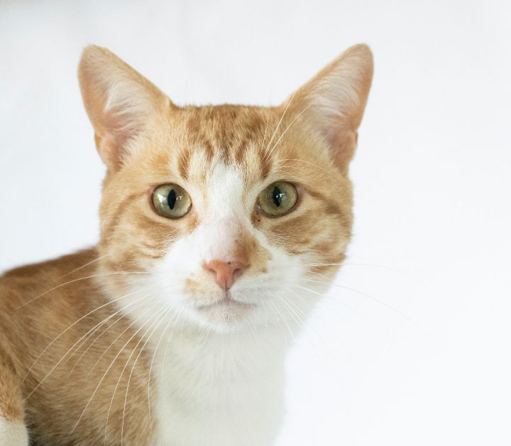 Dorito, an adopted Domestic Short Hair Mix in Columbus, NC