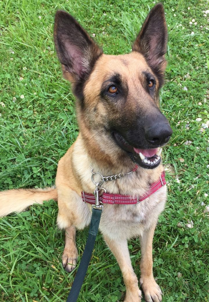 Zara, an adopted German Shepherd Dog Mix in Jefferson City, MO