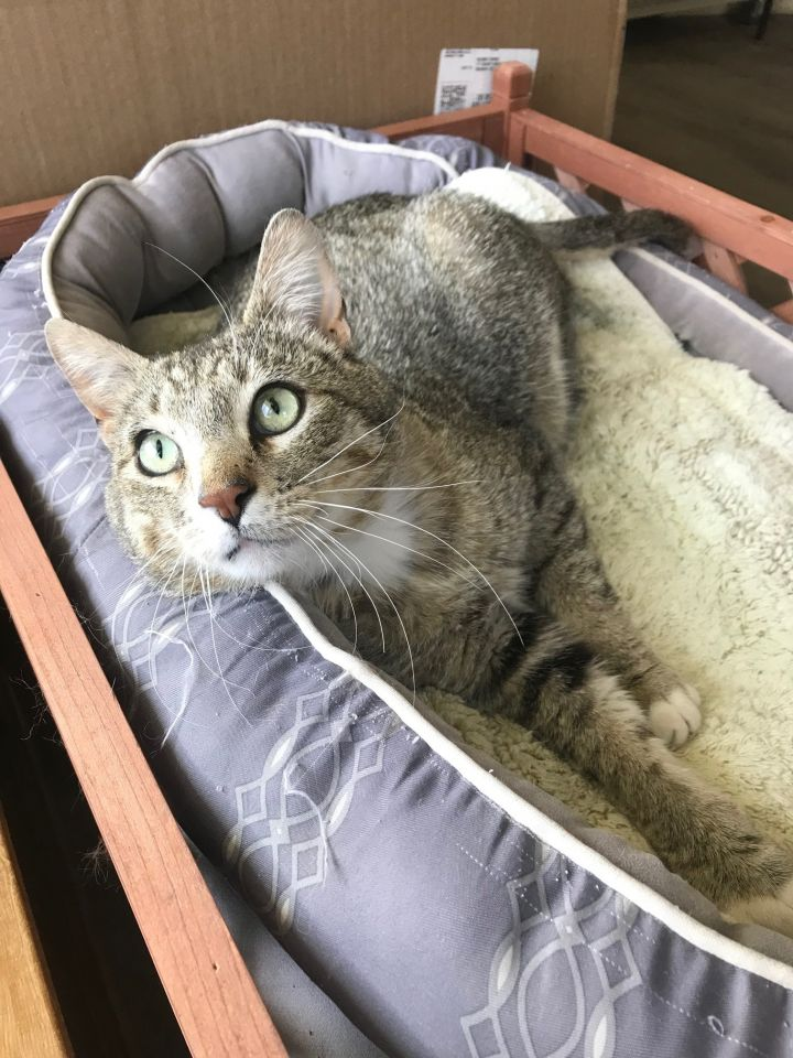 Wally, an adopted Domestic Short Hair in Ridgway, CO