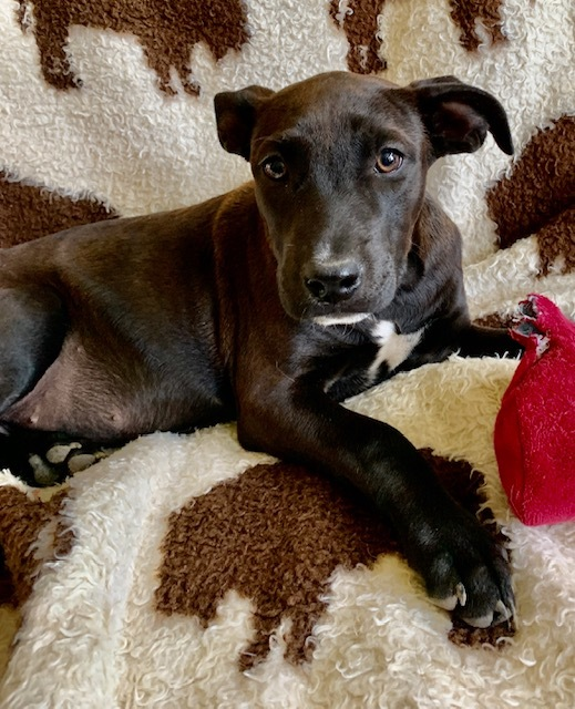 Maggie, an adoptable Labrador Retriever & Australian Cattle Dog / Blue Heeler Mix in Brenham, TX