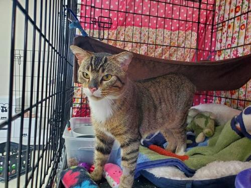 Rock, an adopted Domestic Short Hair in Monroe, MI