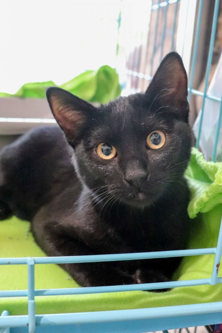 Lentil, an adoptable Domestic Short Hair Mix in Springfield, MO