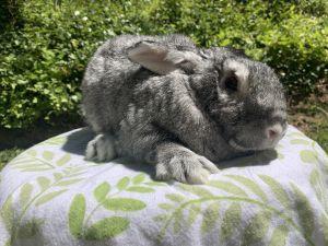 Ice cream Silver Rabbit