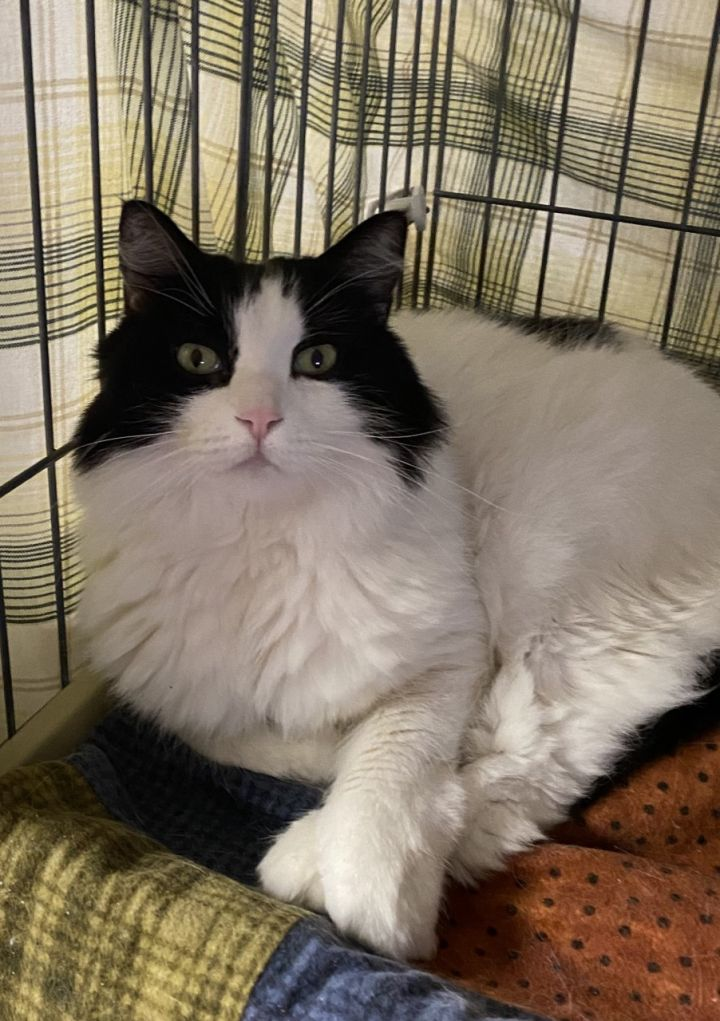 WHOSITS, an adoptable Domestic Medium Hair in Phoenix, AZ