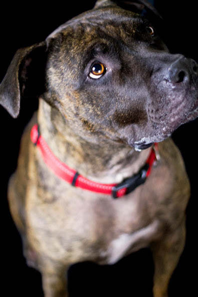 Jango, an adoptable Pit Bull Terrier Mix in Eagle, ID
