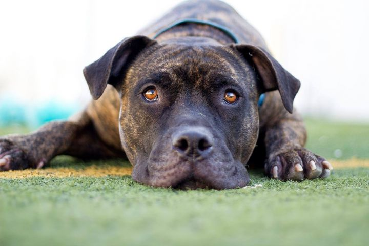 Jango, an adoptable American Staffordshire Terrier Mix in Eagle, ID