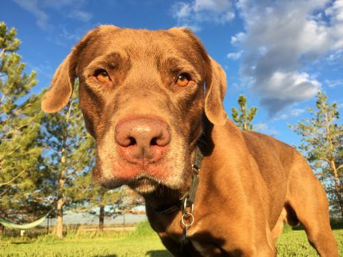 Cowboy, an adoptable Chocolate Labrador Retriever & German Shorthaired Pointer Mix in Winter Park, CO