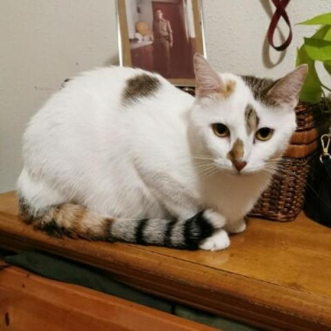NALA, an adoptable Domestic Short Hair in Cape Girardeau, MO