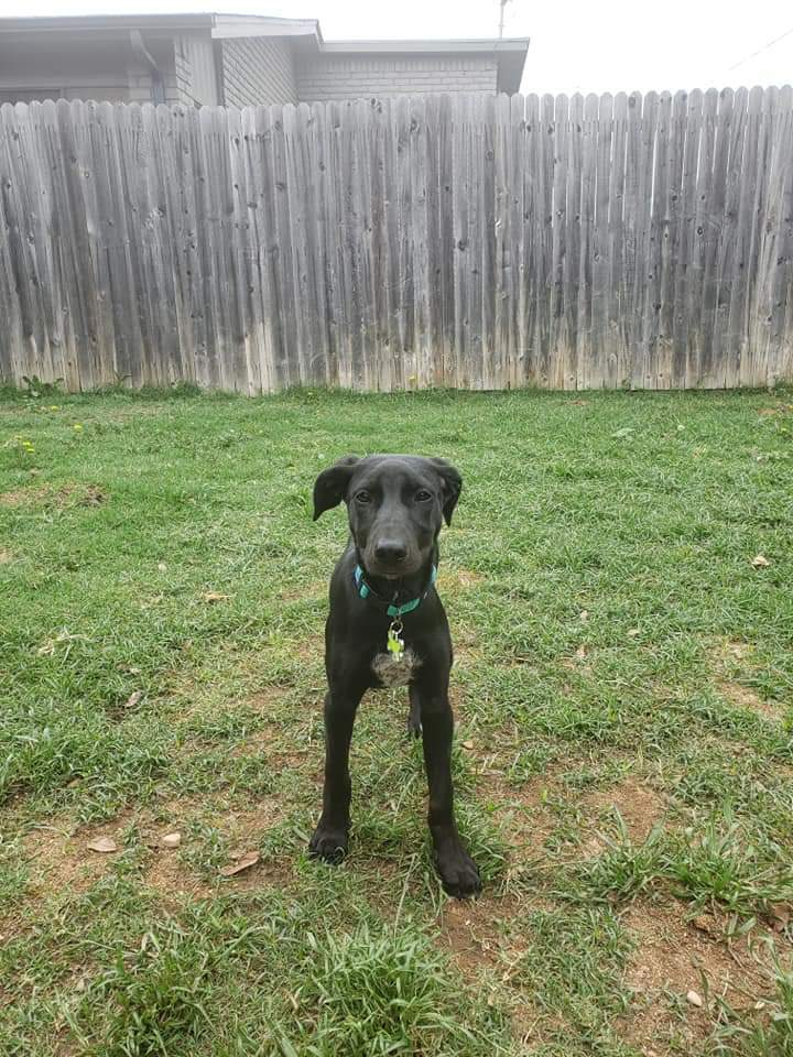 Nikki, an adoptable Black Labrador Retriever Mix in Arlington, TX
