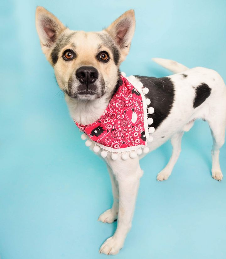 GORDON, an adopted Australian Cattle Dog / Blue Heeler Mix in Phoenix, AZ