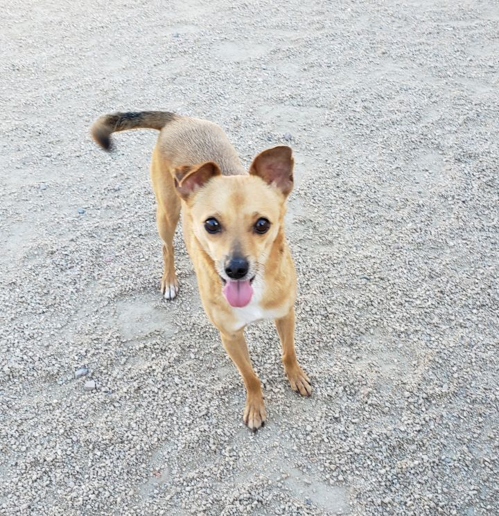 FLOYD, an adoptable Chihuahua Mix in Phoenix, AZ