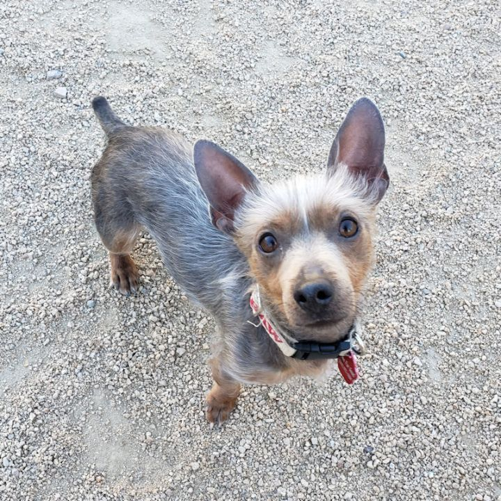 LEON, an adopted Dachshund & Chinese Crested Dog Mix in Phoenix, AZ