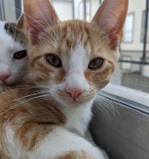 Longview Domestic Short Hair Cat