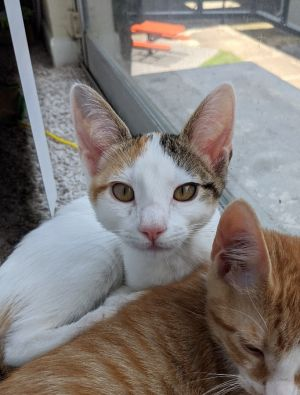 Garland Domestic Short Hair Cat