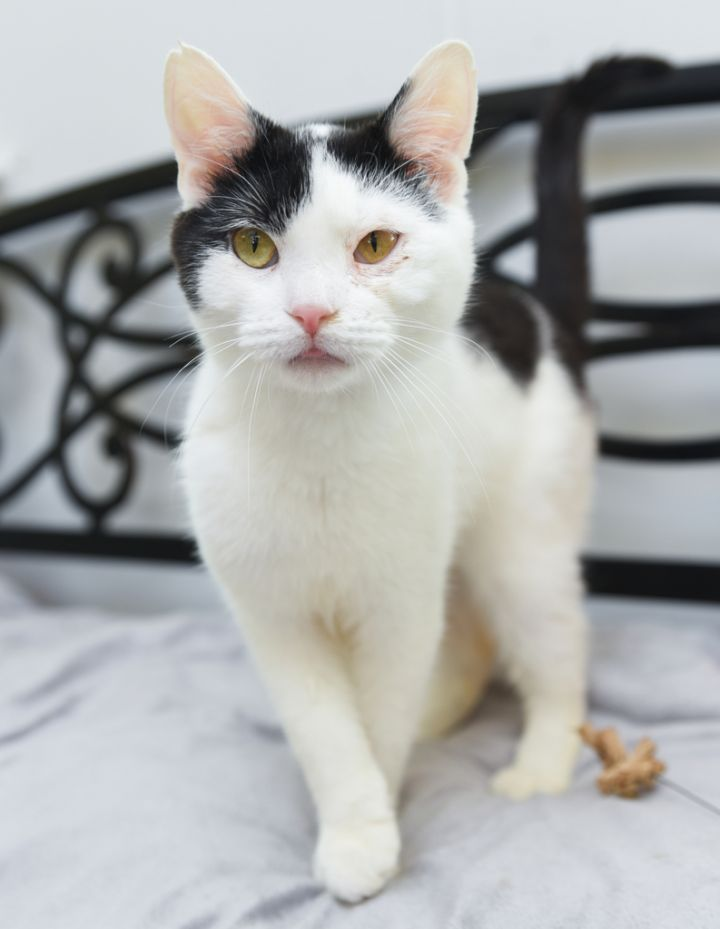 Murtaugh, an adopted Domestic Short Hair Mix in Chattanooga, TN