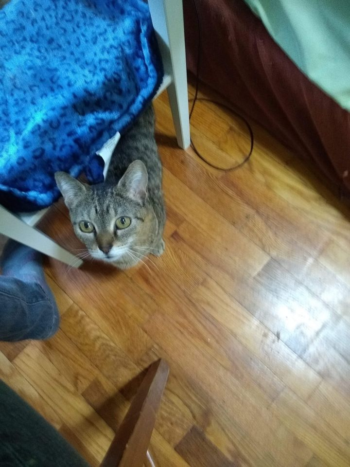 Topanga, an adoptable Domestic Short Hair in Eaton Rapids, MI