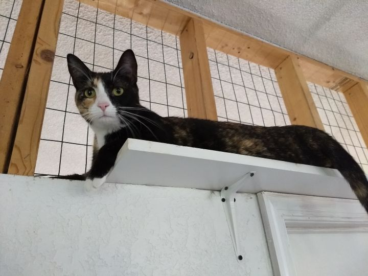 Scarlett, an adoptable Calico in Rustburg, VA