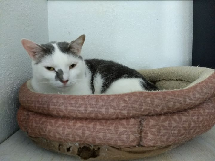 Ralph, an adopted Domestic Short Hair in Rustburg, VA