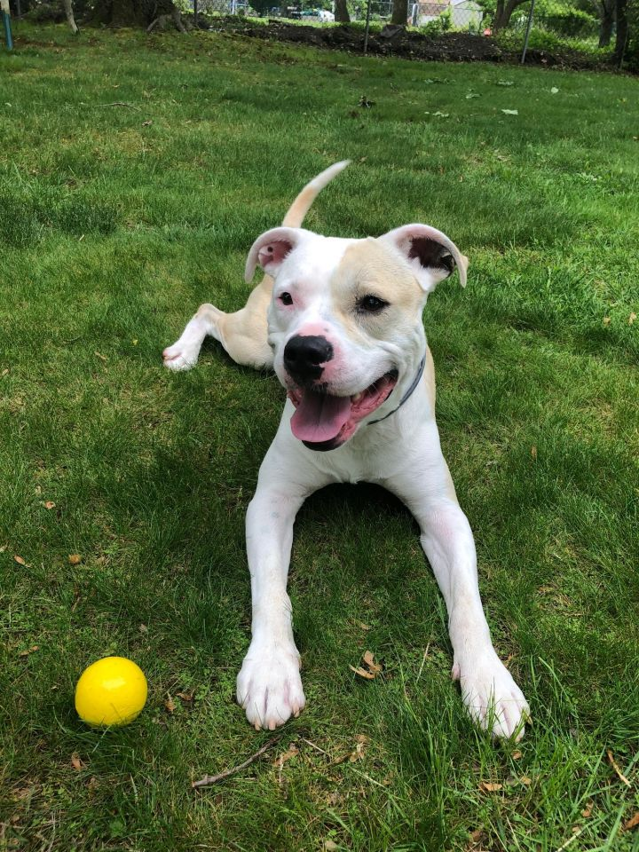 Archie, an adoptable Pit Bull Terrier Mix in Parsippany, NJ