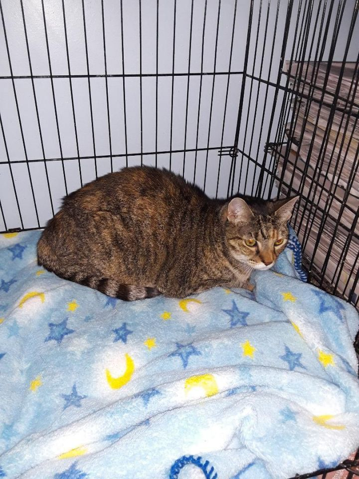 Madge, an adopted Domestic Short Hair Mix in Medford, NY