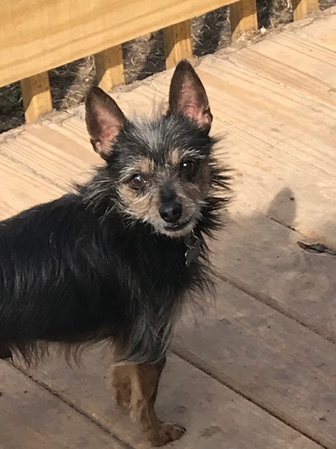 Kenny, an adoptable Yorkshire Terrier Mix in Griffith, IN