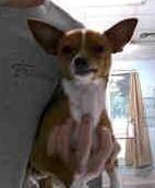Chihuahua 1 1
