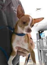 Chihuahua 2, an adoptable Chihuahua in Mary Esther, FL