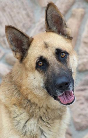 Augustus von Anzing is a beautiful larger sized 2 year old old German Shepherd