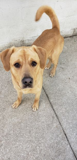 This is Lion He is a 1 12 yr old male Labmix He is super sweet and loves to