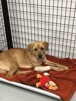 This is Lion He is a 1 12 yr old male Labmix He is super sweet and loves to give