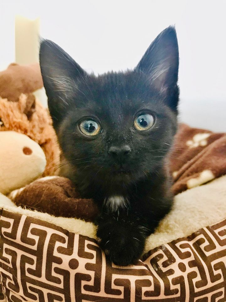 Luna, an adopted Domestic Short Hair Mix in Waxhaw, NC