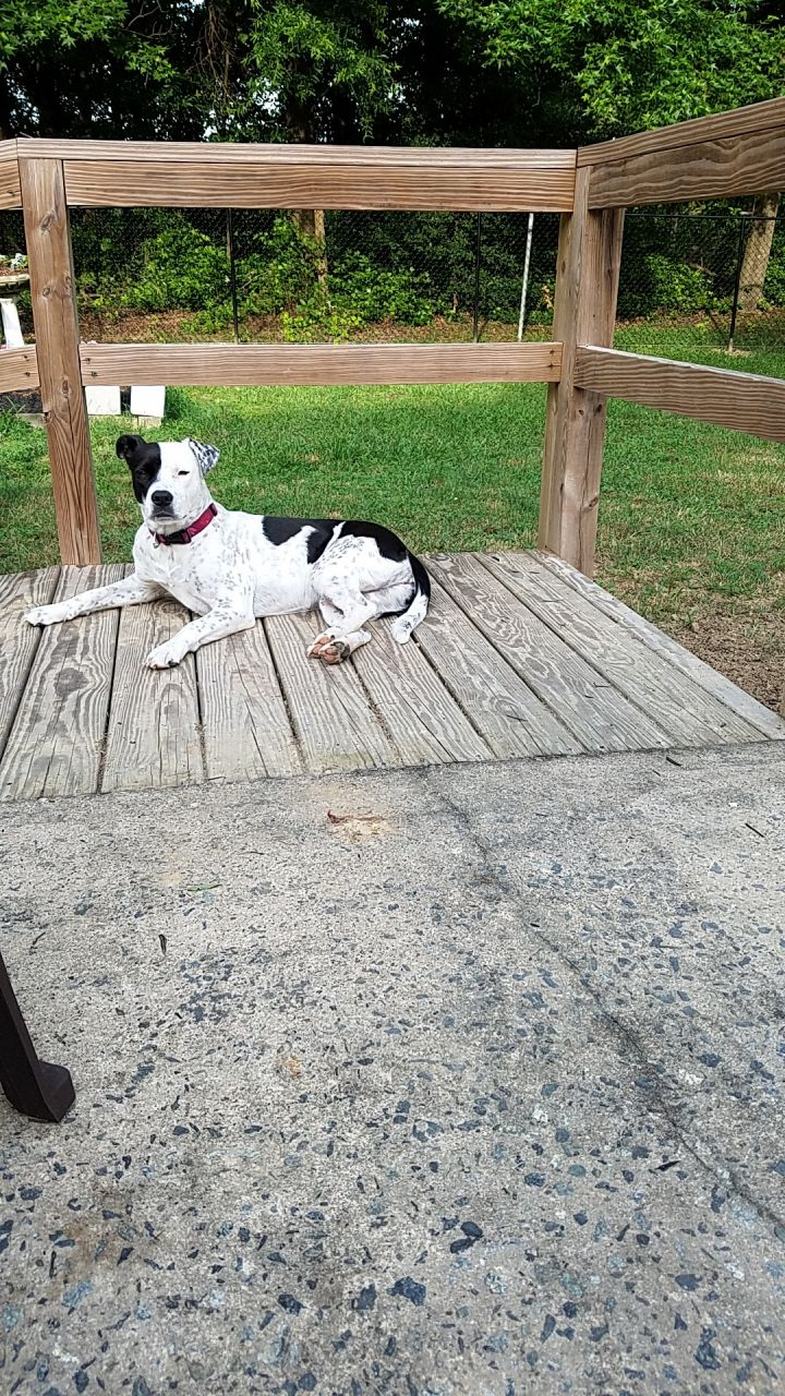 Kona, an adoptable American Staffordshire Terrier in Conover, NC