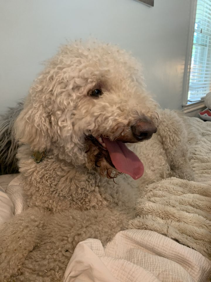 Jordan, an adopted Golden Retriever & Standard Poodle Mix in Parsippany, NJ