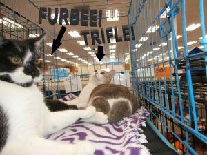 Furbie and Trifle American Shorthair Cat