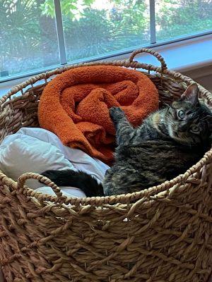 Prudence Domestic Short Hair Cat