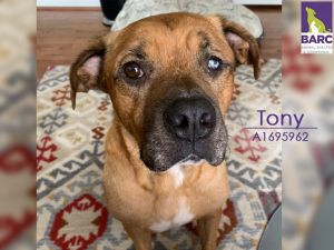 Tony is in foster care Email BARCFosterhoustontxgov to meet him What a sweet senior boy Tony is