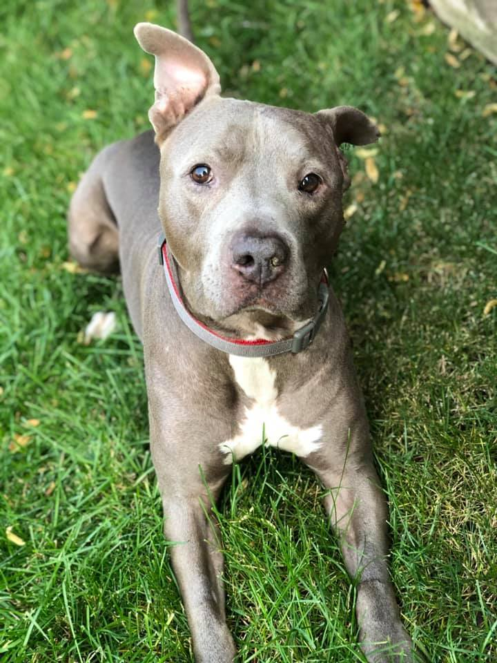 Ponky, an adopted Pit Bull Terrier Mix in Eagle, ID