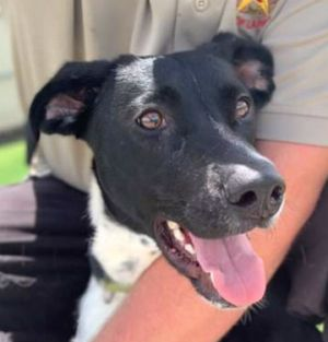 My name is Sasha I am a sweet loving 1 year old female English PointerBorder Collie Labrador Ret