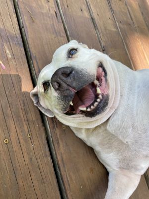 Meet the prettiest spring Daisy you will ever find Daisy is a 6-7yo 73lb deaf lab pit mix who is