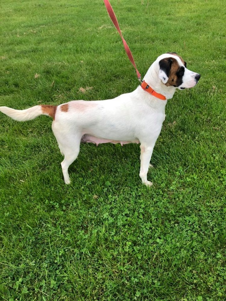 Molly, an adopted Saint Bernard Mix in Kittanning, PA