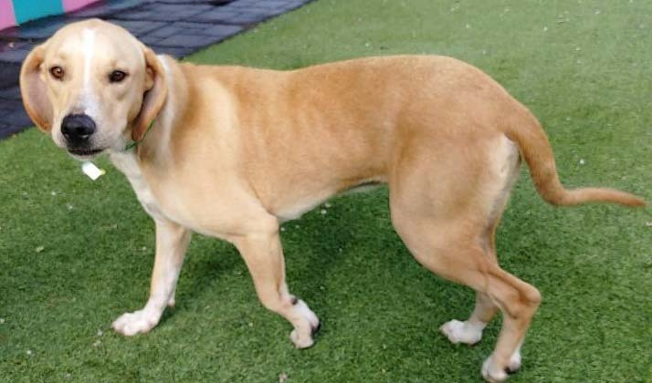 Trevor, an adoptable Labrador Retriever Mix in Dallas, TX