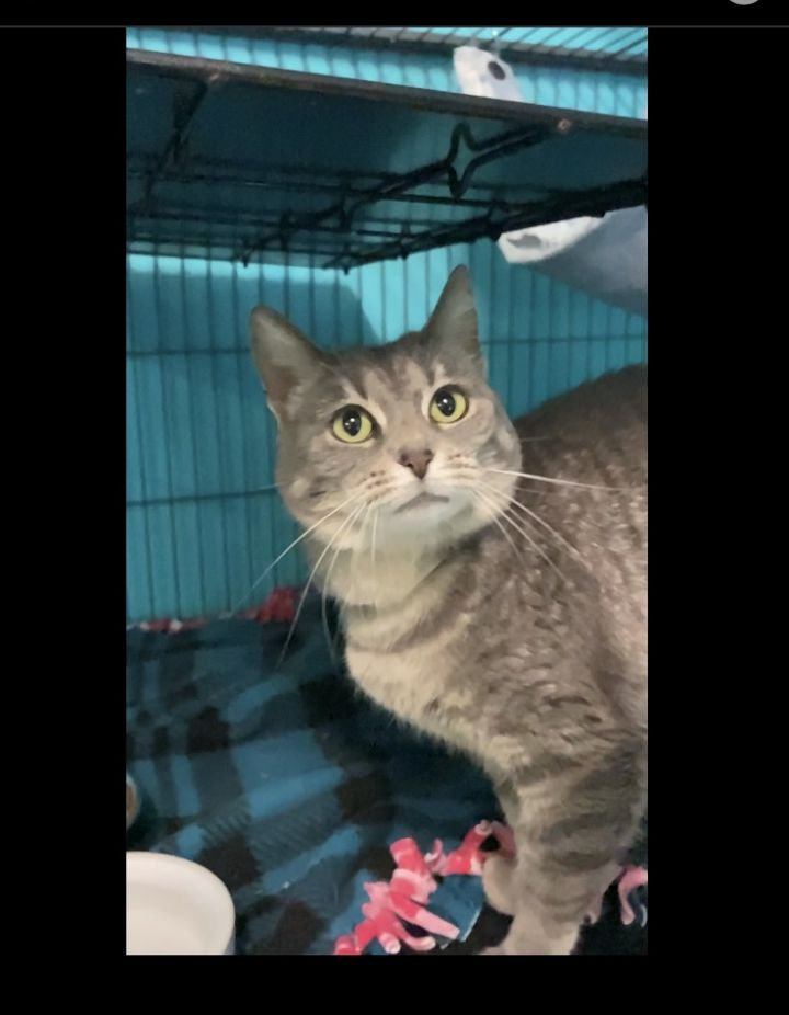Rafiki, an adoptable Domestic Short Hair & Tabby Mix in Spencer, IN