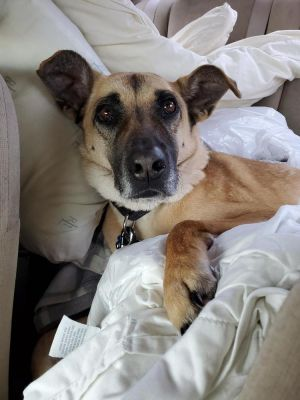 Mina is a sweet 6 year old shepherd mix looking for her forever home Mina loves getting belly rubs
