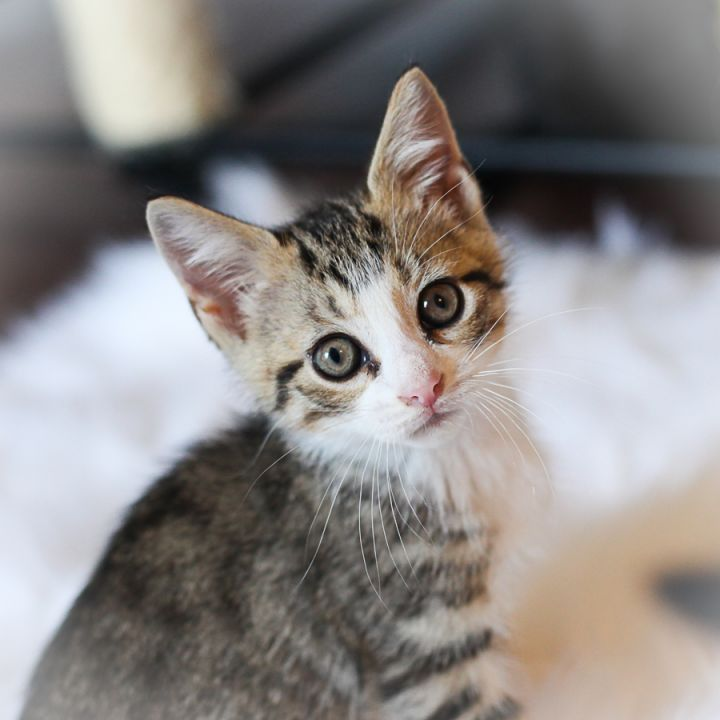 Dunrich, an adopted Domestic Short Hair & Tabby Mix in Ponte Vedra, FL