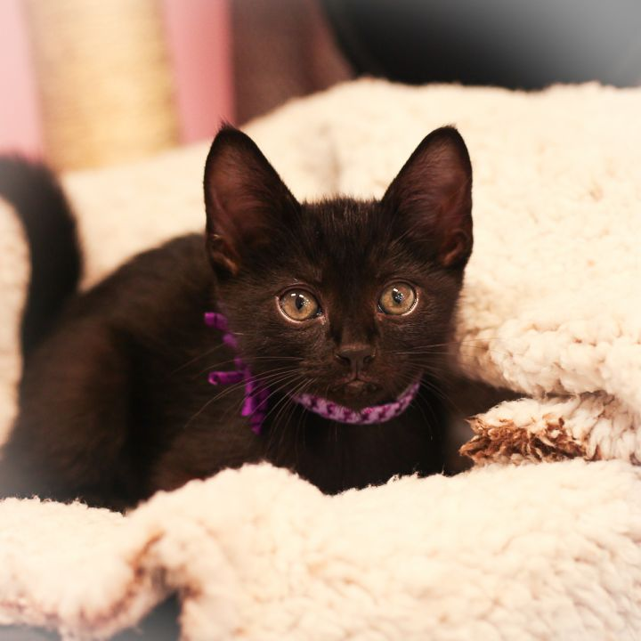 Maurice, an adopted Domestic Short Hair in Ponte Vedra, FL