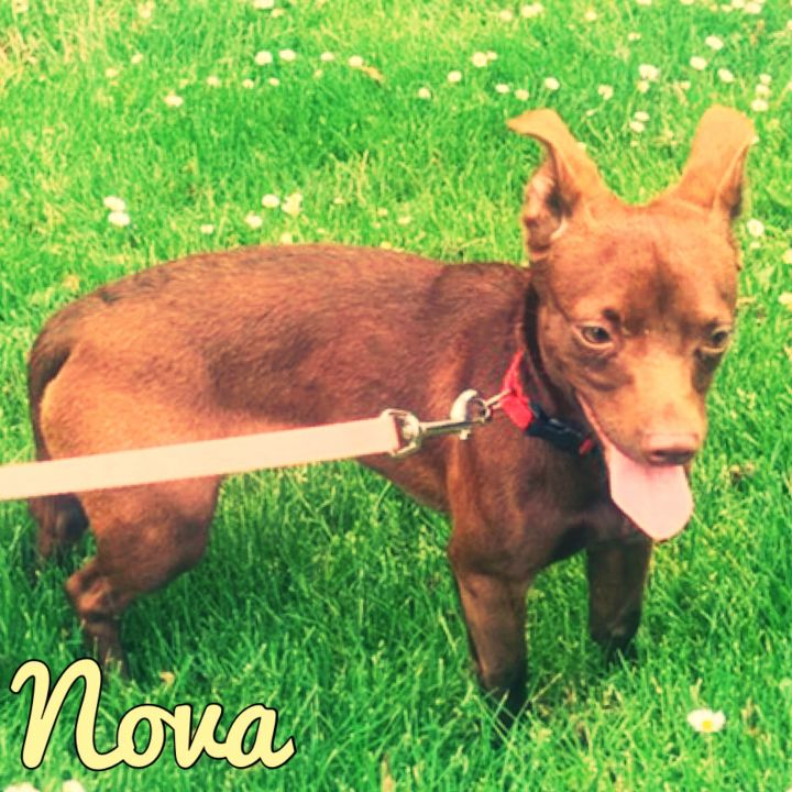 Nova, an adopted Terrier Mix in PORTLAND, OR