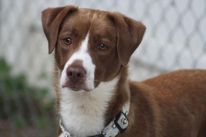 Andrew, an adoptable Border Collie & Hound Mix in Kalamazoo, MI